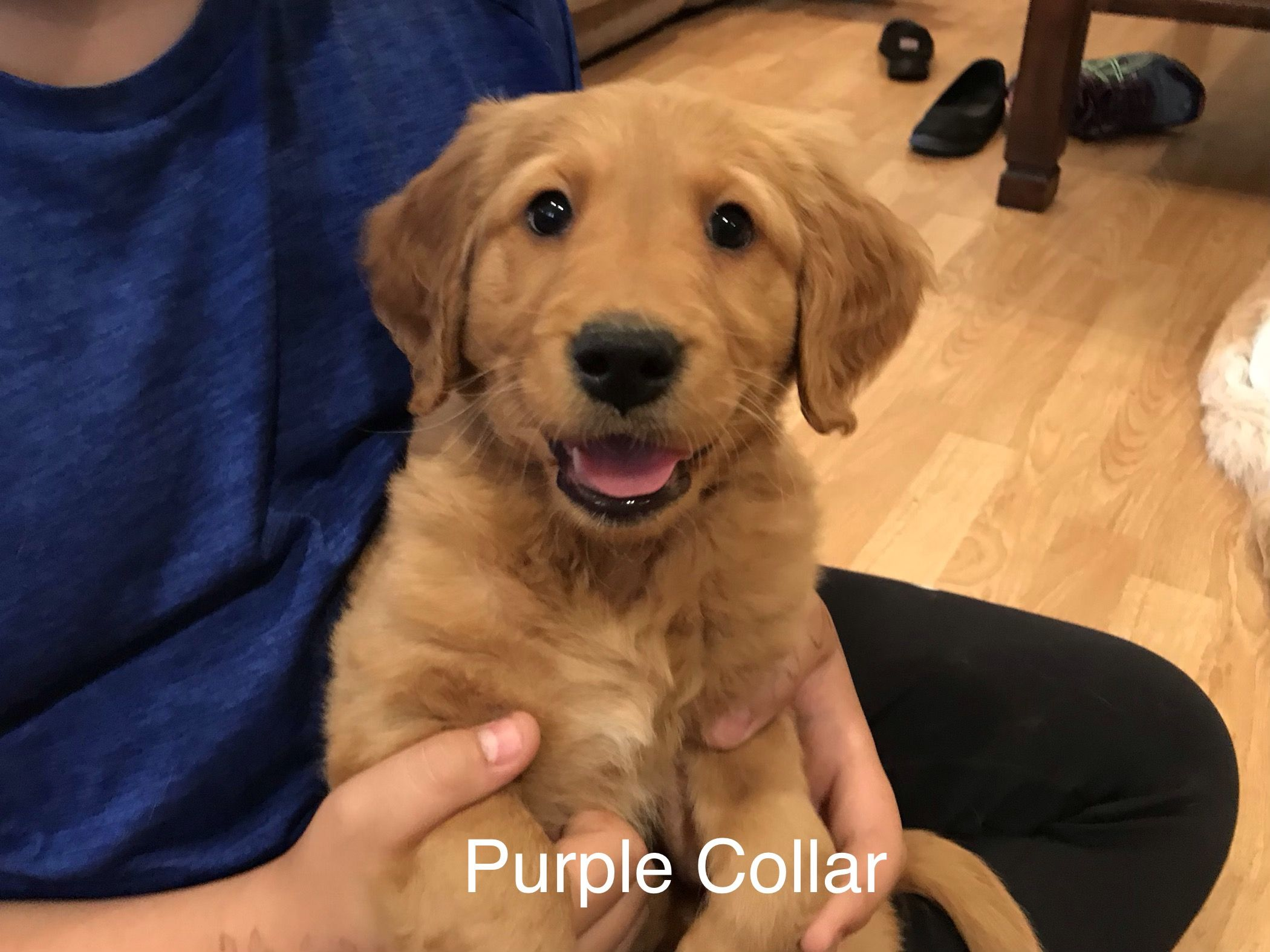 For Sale Redmond Oregon Golden Retriever Golden Retrievers