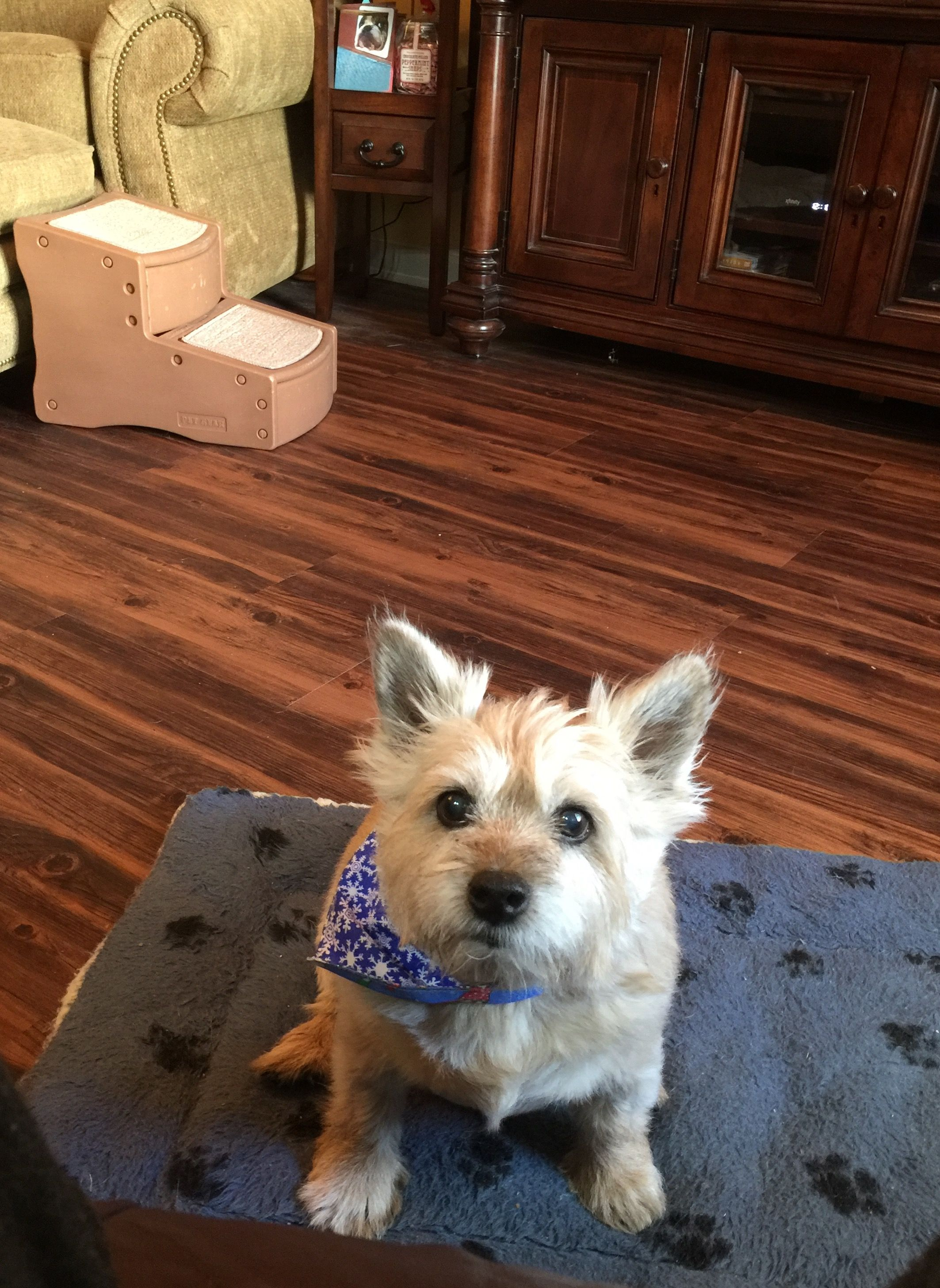 That's my precious Keeley Gair ️ | Norwich terrier, Cute ...