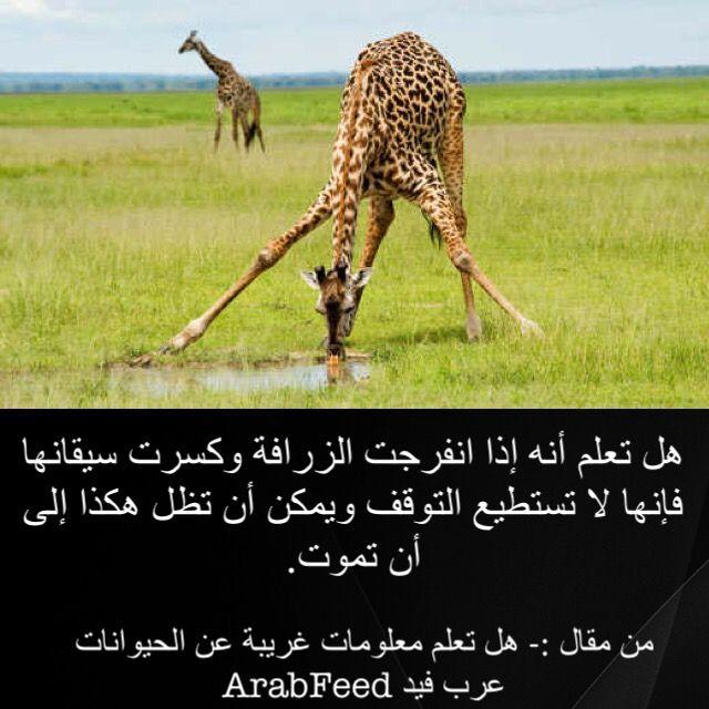هل تعلم أنه إذا انفرجت الزرافة وكسرت سيقانها فإنها لا تستطيع التوقف ويمكن أن تظل هكذا إلى أن تموت Giraffe Did You Know Animals