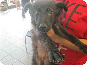 San Antonio Tx Border Collie Mix Meet A358383 A Puppy For