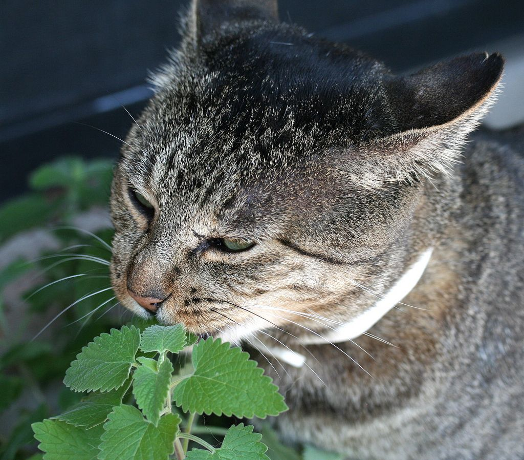 Planting Catnip How To Grow Catnip Growing catnip