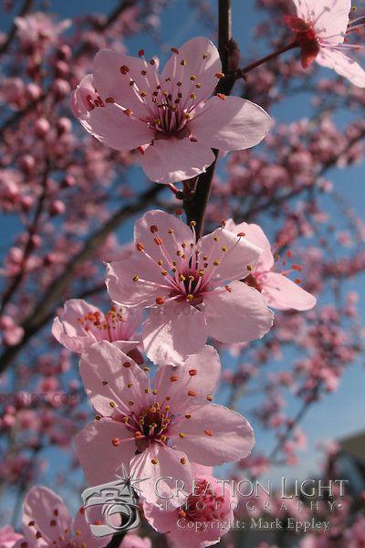 Ornamental Cherry Trees Flower Creation Light Photography