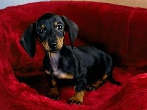 Pin By Florie Marmion On Things I Like Dachshund Puppies Dogs