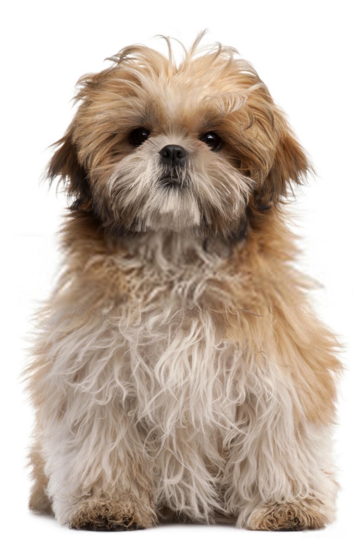 Shih Tzu Puppy Baby Shih Tzu Puppies Shih Tzu Puppy Shih Tzu Baby Shih Tzu