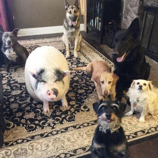 A Pig Named Chowder And Her Dog Crew Dreams Do Come True Adoptdontshop Animalfriends Doglovers Unlikely Animal Friends Dog Friends Animals Friendship