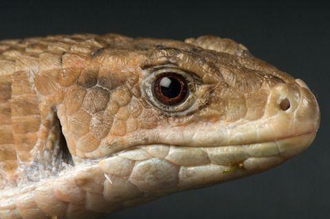 オニプレートトカゲの飼い方 硬い鱗がオニ ペットが家族になりたそうに見ている トカゲ 動物 鱗