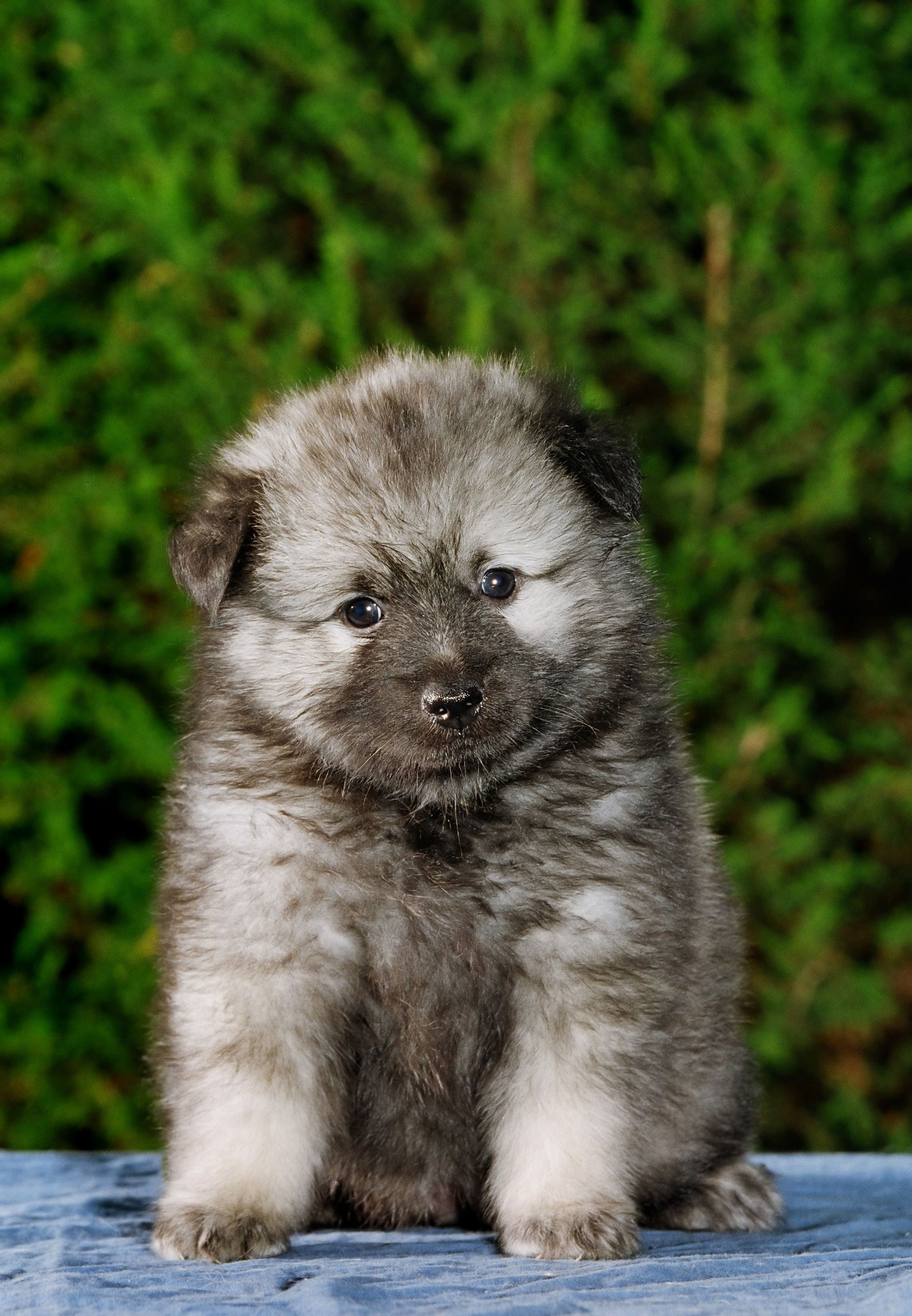 The Keeshond Is An Arctic Dog Breed Once Used As Watchdogs On