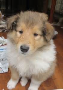 Male Sable White Rough Collie Puppy For Sale Alderley