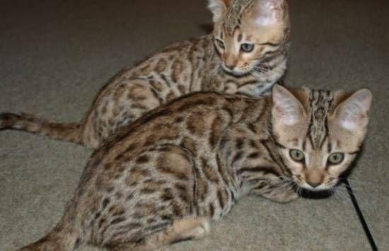 brown rosetted bengal kittens | Bengal kitten, Bengal cat ...