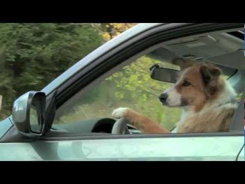 Subaru Commercial Jackknife Dog Test Cute Animal Videos Dog