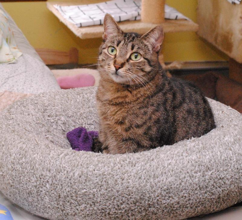 Adopt Oatmeal On Petfinder Cat Adoption Brown Cat Tabby Cat