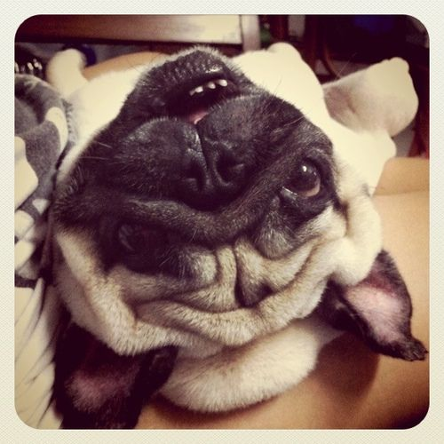 I Can See Up Your Nose Amor Pug Pugs Pug