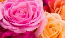 Are #roses a #gardening pleasure or pest-ridden pain?