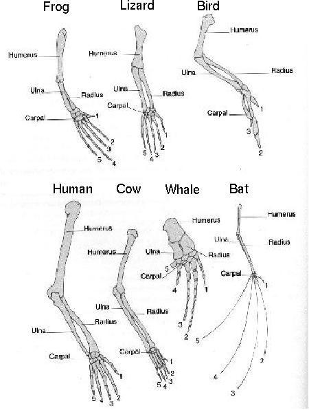 Dog Leg Skeletal Anatomy | Animal Leg Bones | Animal Anatomy ...