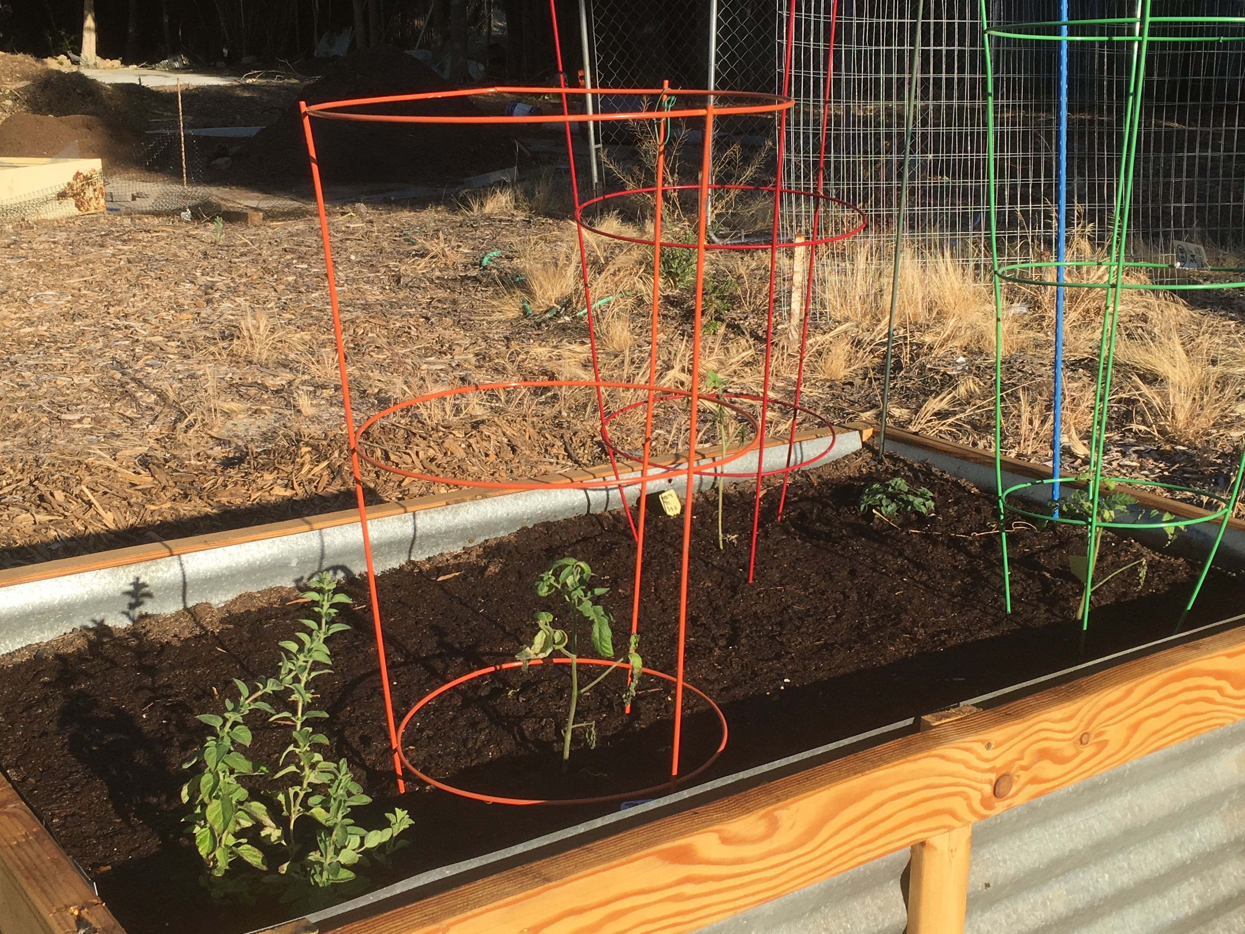 The transplanted tomatoes that did survive the crazy wind last week ...