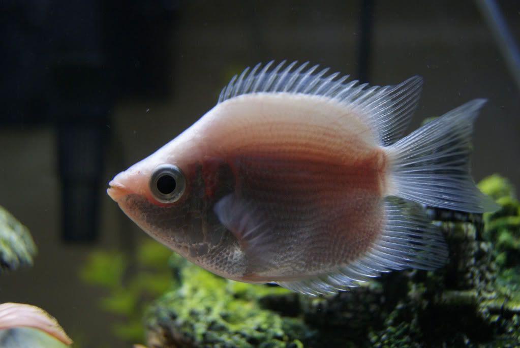 Fyanimaldiversity Kissing Gourami Animals Tropical Fish