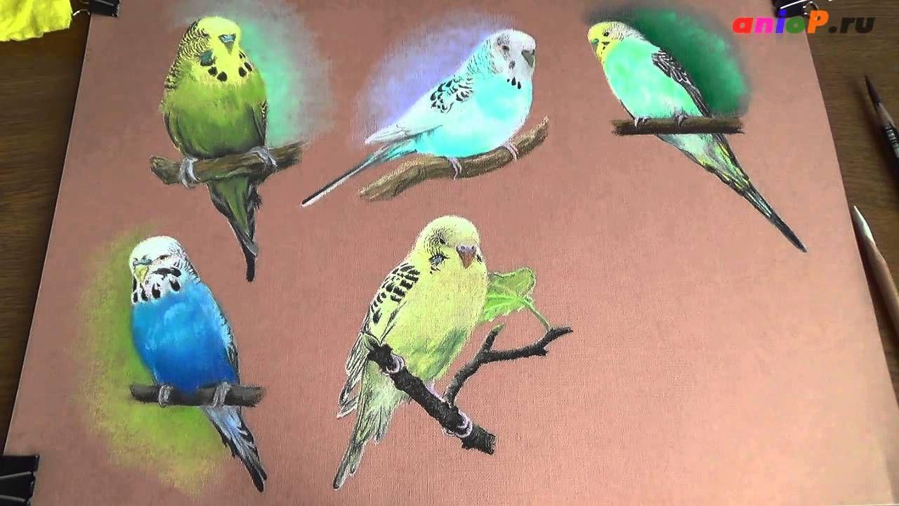 Волнистый попугай сухой пастелью