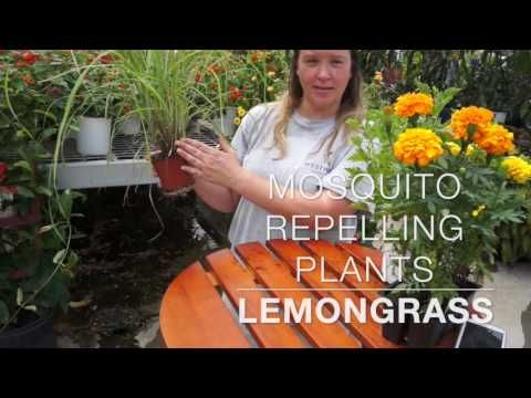 Mosquito Repelling Plants - YouTube #mosquitoplants