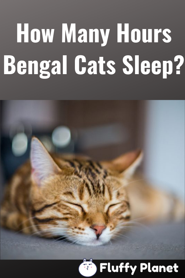How Many Hours Bengal Cat Sleep Bengal Cat Cat Sleeping Bengal Cat Facts