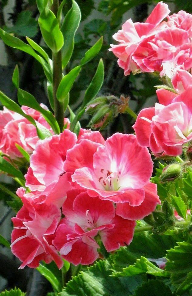 Gorgeous Gladiolus Dreamy Nature Beautiful Flowers Gladiolus Flower Amazing Flowers