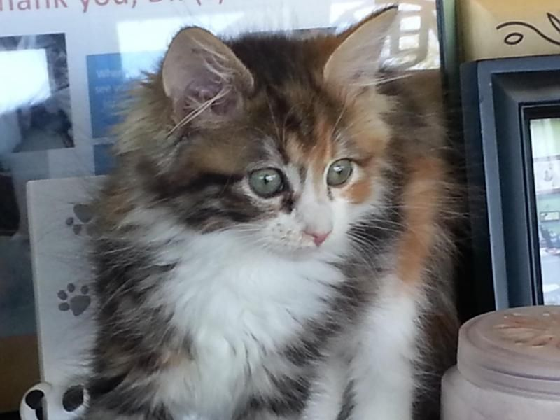 We Have Some Of The Most Beautiful Medium And Long Haired 8 Week Old Kittens You Have Ever Seen This Litter Of 5 Maine Serious Cat Tabby Cat Cats And Kittens
