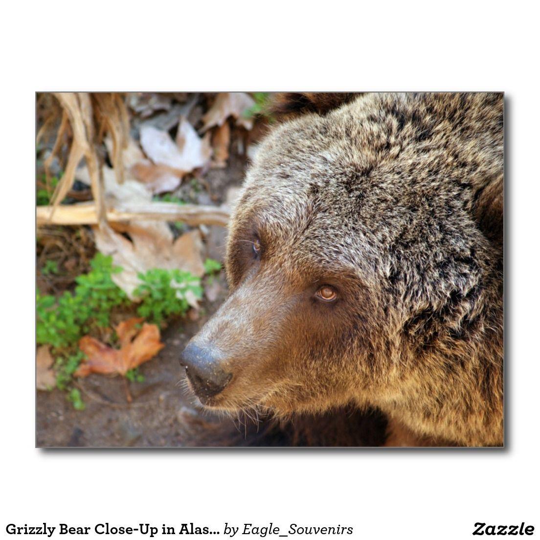 Grizzly Bear Close-Up in Alaska Postcard  #grizzly #bear, #alaska, #wildlife, #carnivore, #mammal, #predator, #wilderness, #wild, #nature, #usa, #america #postcard