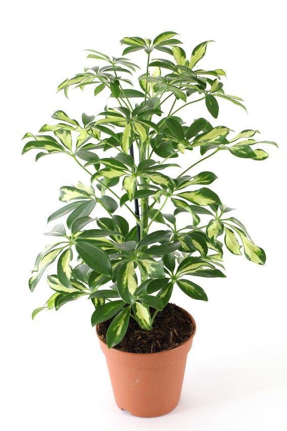 Marvelous 18 Best Large Indoor Plants For Home