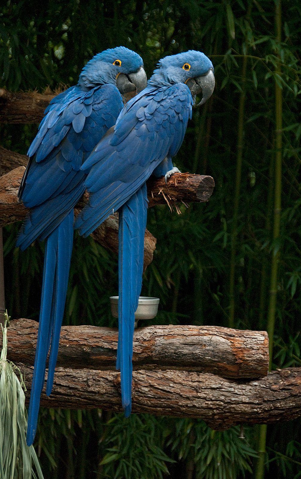 The Rare Blue Macaw Birds | Hyacinth Macaws by Dusty R Shutt