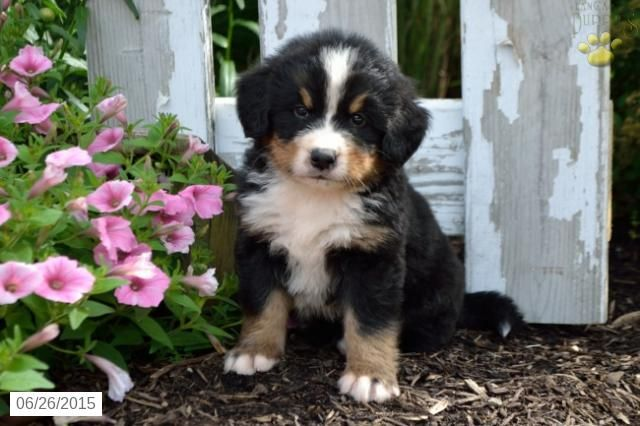 Bernese Mountain Dog Puppy For Sale In Ohio Buckeyepuppies Bernese Mountain Dog Puppy Bernese Mountain Dog Puppies For Sale