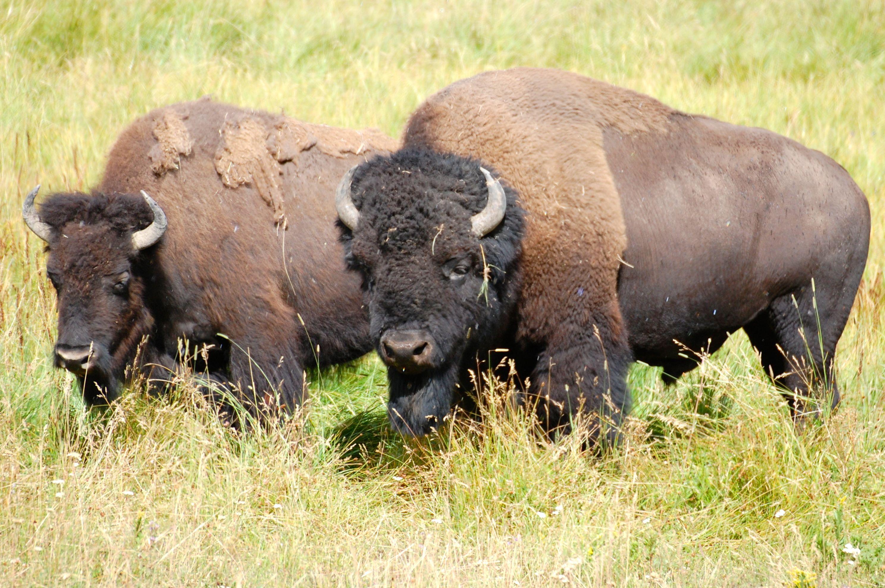 Bison - Yellowstone