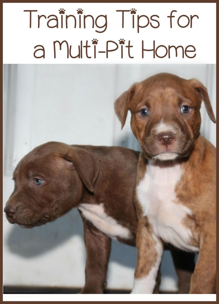 Today Pitbull Puppy Training Tips Talks About Raising More Than