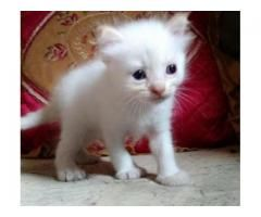 White Persian Kitten Soft And Long Hair Blue Eyes For Sale In