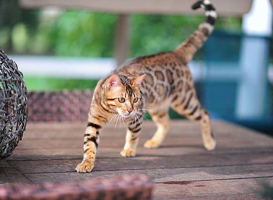 Here Is Where To Get Bengal Cats For Sale Male Bengal Cats Available More Information On Male Bengal Cat Prices Bengal Cat For Sale Bengal Kitten Bengal Cat