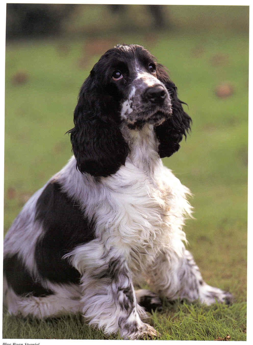 Pin By Anything You Can Imagine On Spaniels Love Cocker Spaniel Cocker Spaniel Dog English Cocker