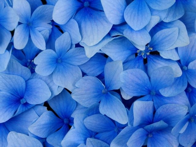 Blue Flowers Wallpaper Backgrounds Androlib