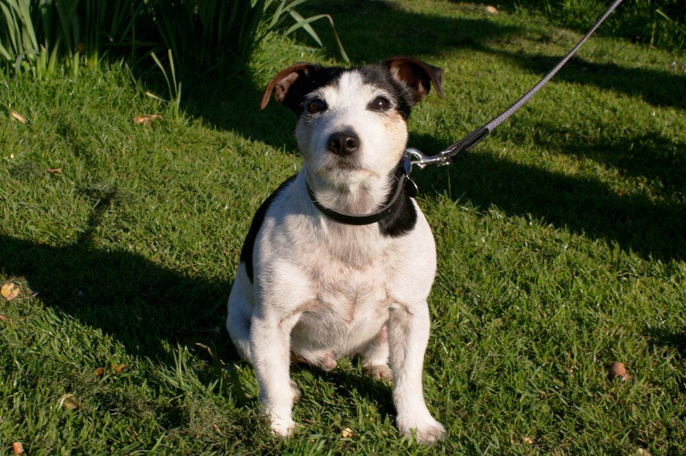 Alfie The Jack Russell Dog Dogs Jackrussell Dorset Dog