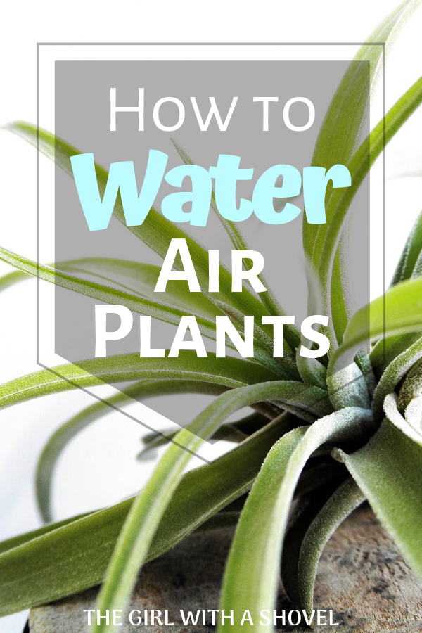 How to Water Air Plants The Girl with a Shovel in 2020