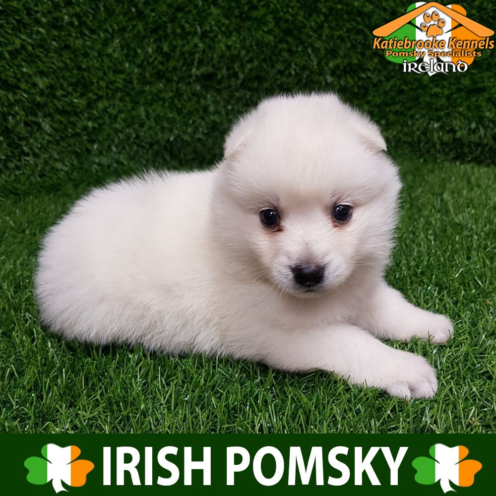 Katiebrooke Kennels Pomsky Specialists Ireland F2 Pomsky Puppy Molly Brown Eyes X Female X Husky Markings X C With Images Pomsky Puppies Puppies Pomsky Puppies For Sale