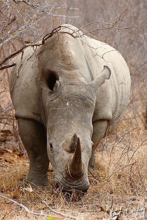 The White Rhinoceros or Square-lipped Rhinoceros (Ceratotherium simum) is one of five species of rhino that still exist .