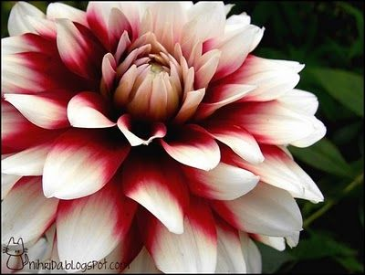 National Flower Of Mexico Pink Dahlia Flower Called Fascination Is Found In Mexico And Is Flowers Desert Flowers Dahlia Flower