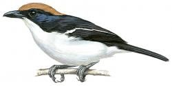 Gabela Bush-shrike (Laniarius amboimensis)