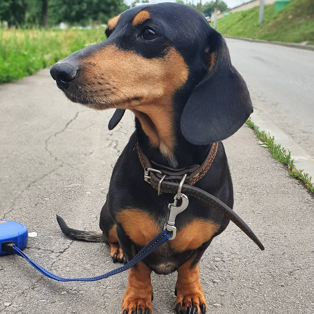 Dachshund products dog food apparel and gifts