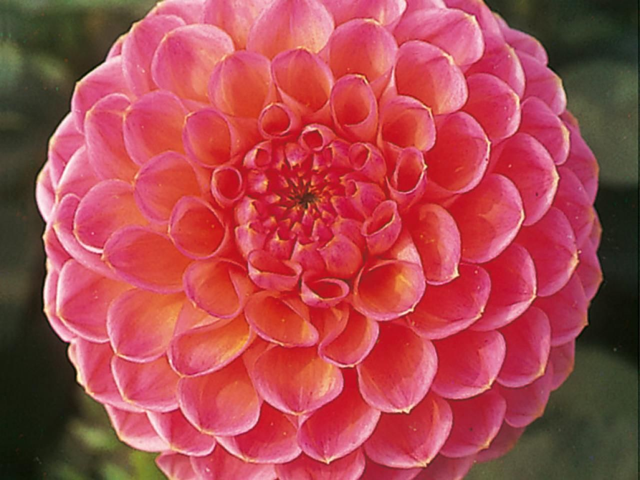 Pin by Everblue Fashion on Flowers   Pinterest   Flowers Learn how dahlia flowers can work in your outdoor space with this gardening  guide from HGTV