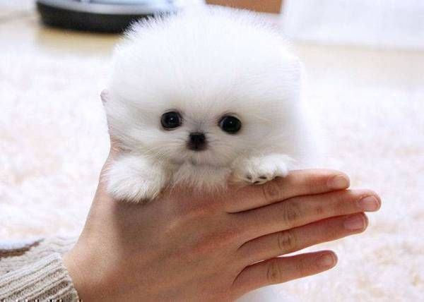 Found It On Craigslist Cutest Thing Eva Cute Pomeranian Cute Baby Animals Cute Animals