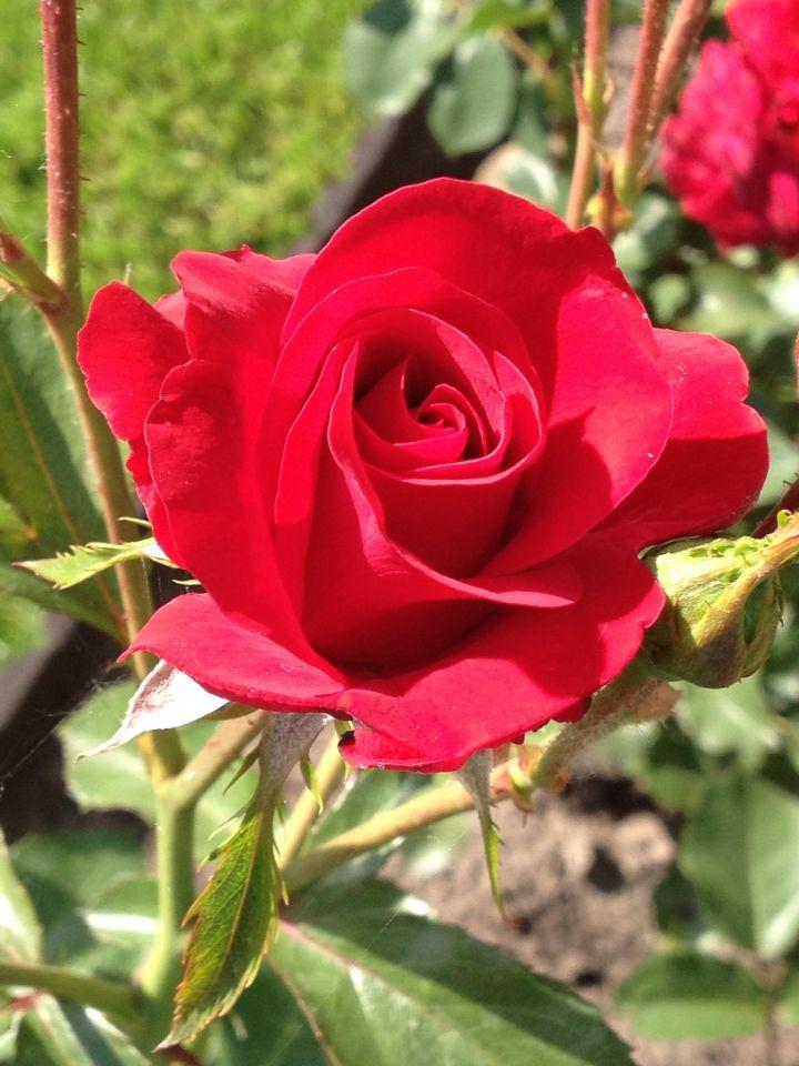 Red rosę in my garden