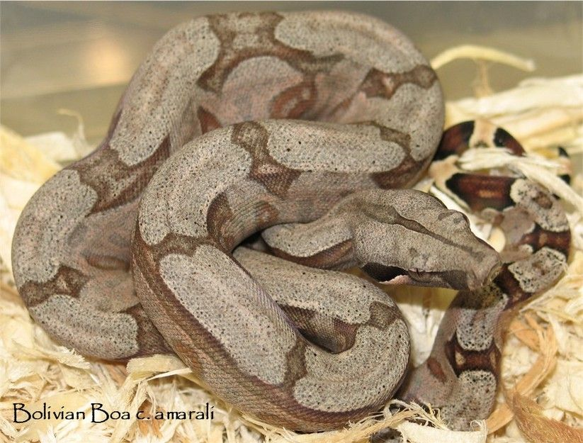 Locality & Color Morph Boa constrictors & selectively Bred