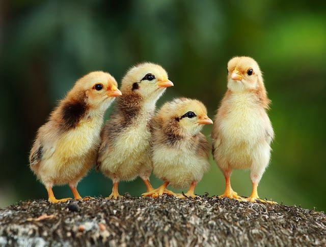 Chicken Baby Cute Animal Wallpaper