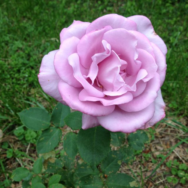 A cool lavender rose off of Camelier St. near my house