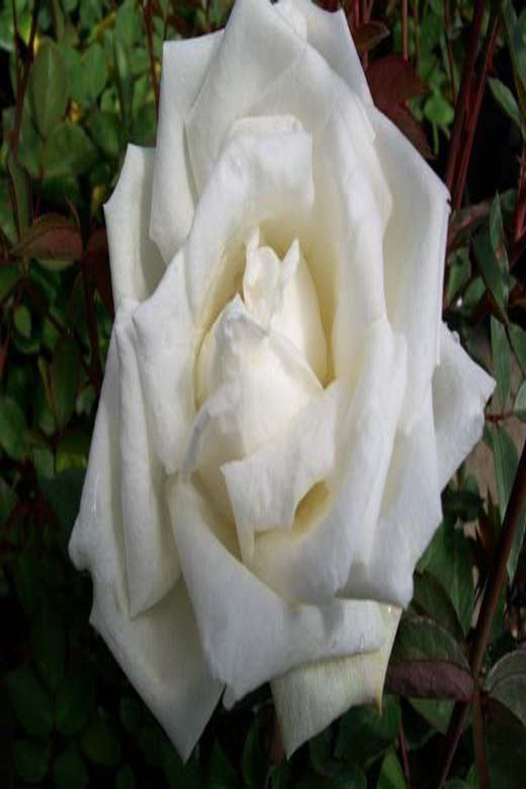 Bush Plant Healthy Low Maint EarthKind Roses Ducher Pure White China Rose 2 Gal