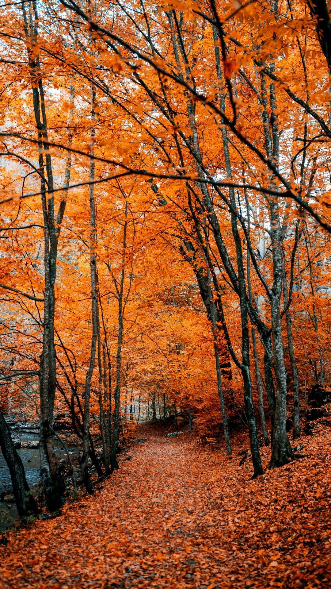 Autumn, Path, Forest, Trees, Fall #fallscenery